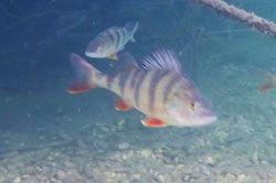 Pesca-perca-fluviatilis-spinning-camping-portmassaluca2