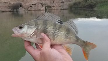 Perch-fluviatilis-fishing-ebro-portmassaluca