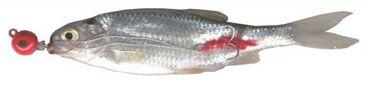perch-pez-muerto-manejado-2
